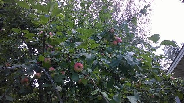 リンゴの木2