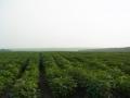 黒竜江省大豆畑1