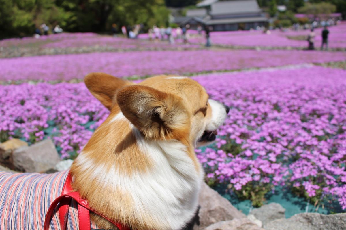 三田永沢寺芝桜花のじゅうたん