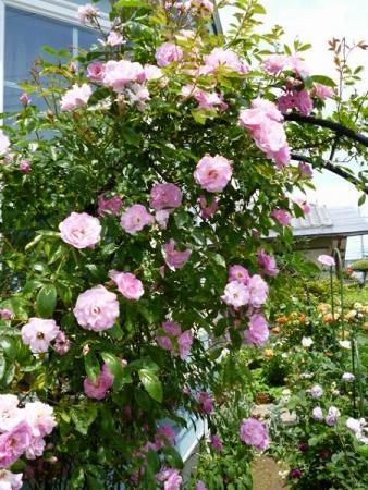 バラの庭15