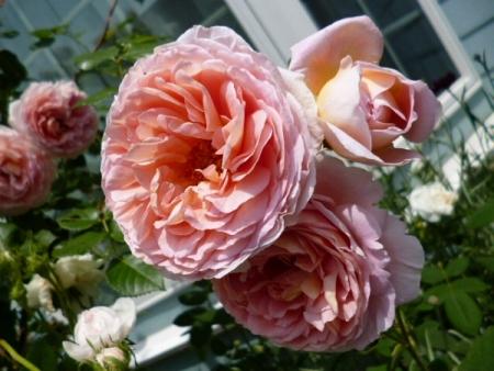 バラの庭17