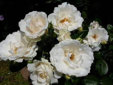バラの庭18