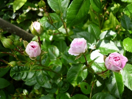 バラの庭20