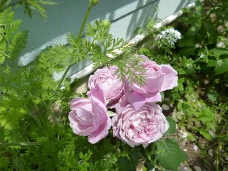バラの庭24