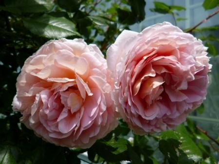 バラの庭26