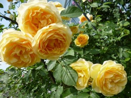 バラの庭7