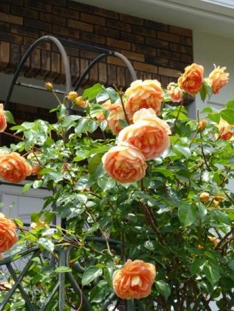 バラの庭8