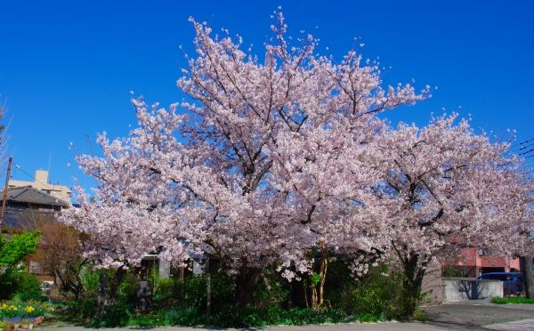 さくら / A cherry tree