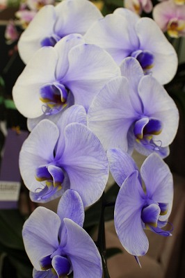 紫の胡蝶蘭