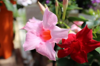 バラ咲きインパチェンス