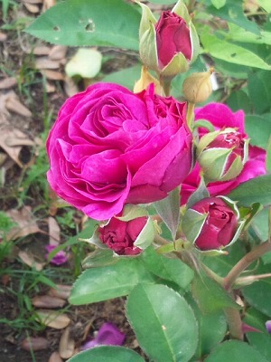 薔薇濃いピンク