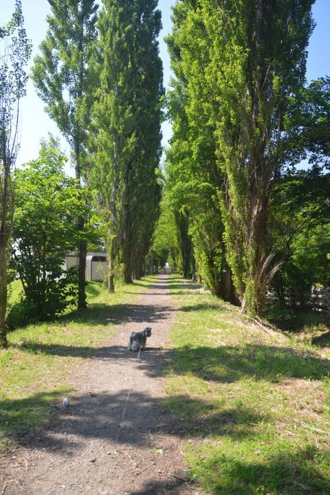 北大ポプラ並木