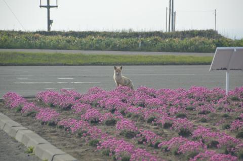 宗谷岬公園キツネ