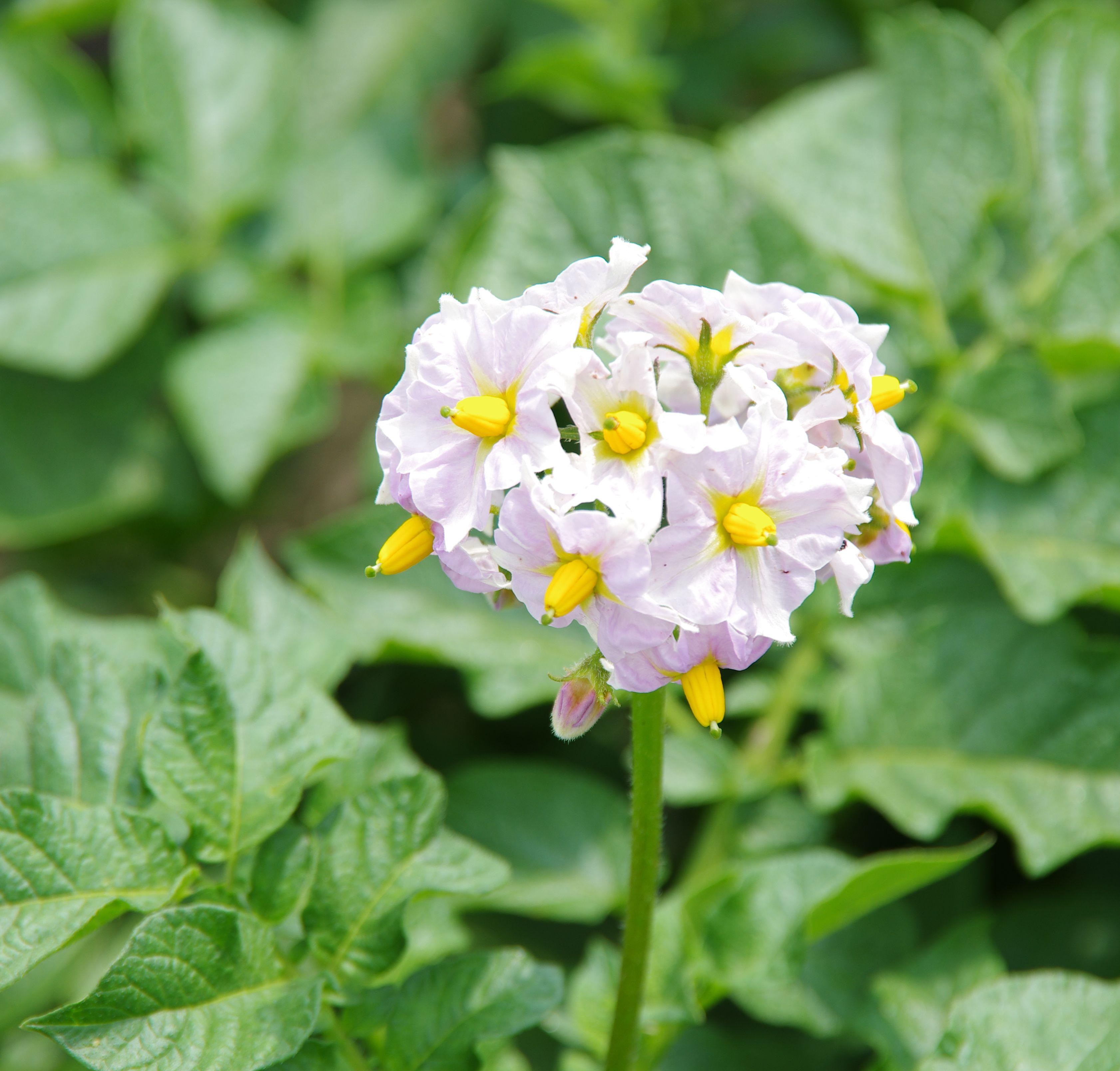ジャガイモの花アップ