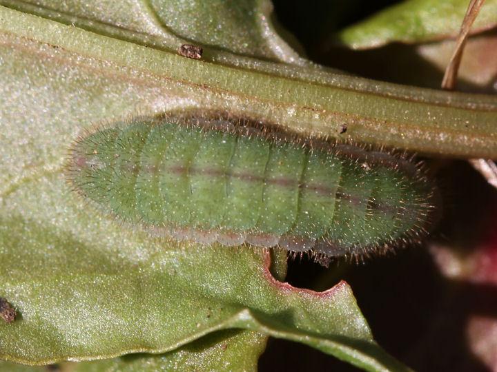 ベニシジミ幼虫12mm-IMG_8511