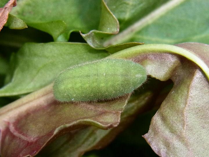 ベニシジミ幼虫-R0020759