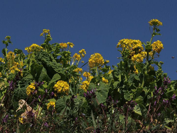 菜の花-P3220048