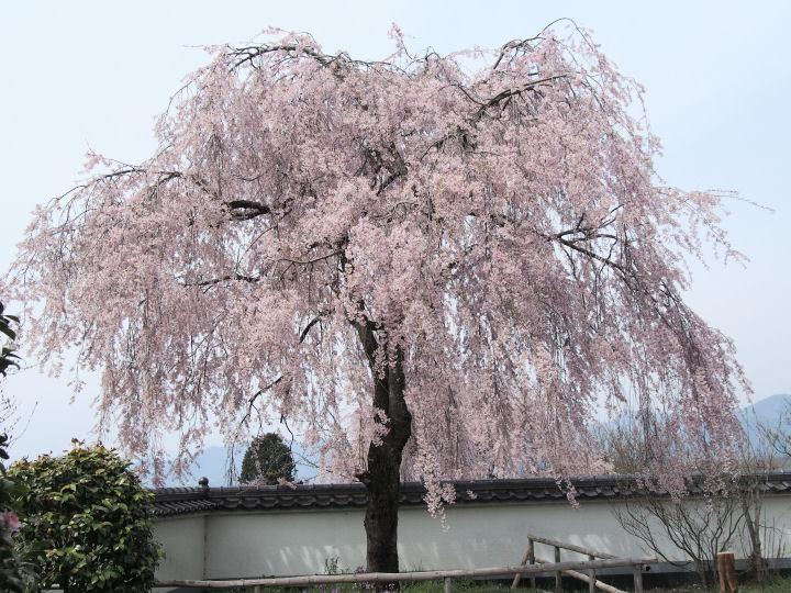 慈雲寺の桜-OMD51846