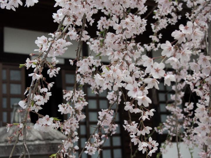 慈雲寺の桜-OMD51862