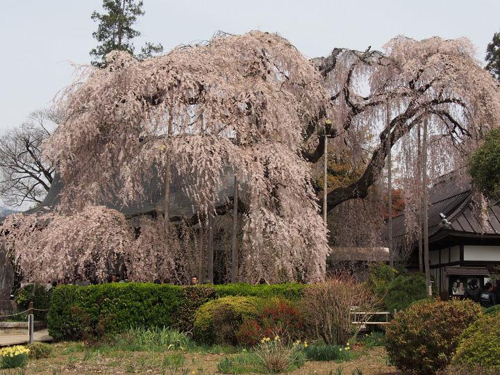 慈雲寺の桜-OMD51849
