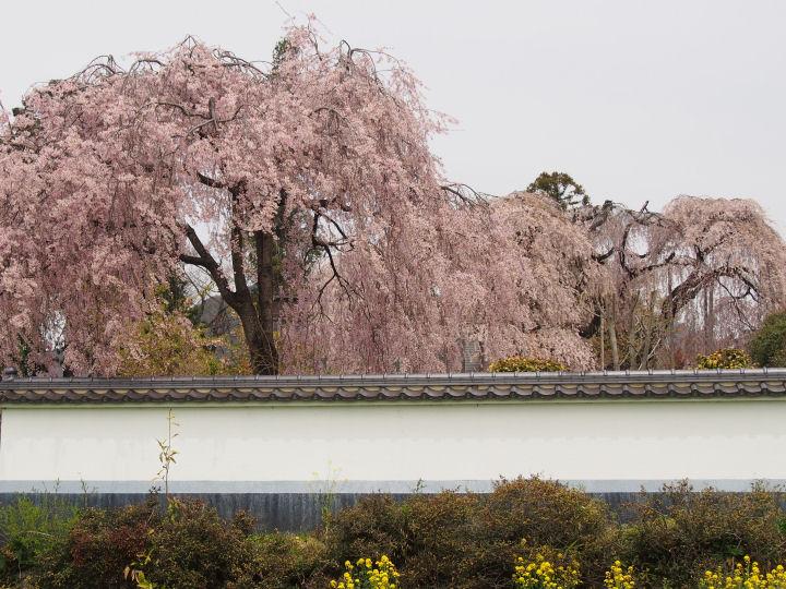 慈雲寺の桜-OMD51910
