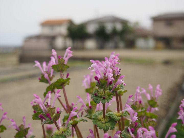 わに塚のホトケノザ-OMD51961