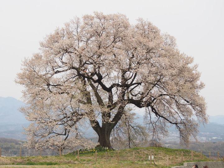 わに塚の桜-OMD51969