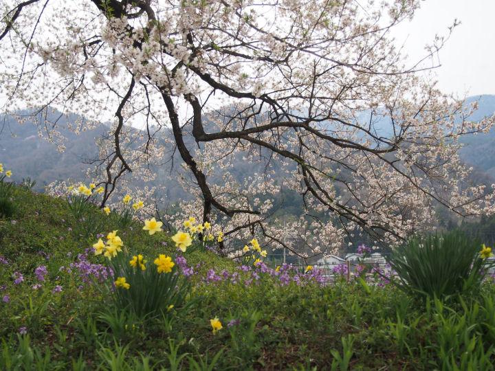 わに塚の桜-OMD51978