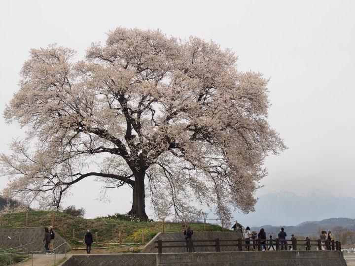 わに塚の桜-OMD51988