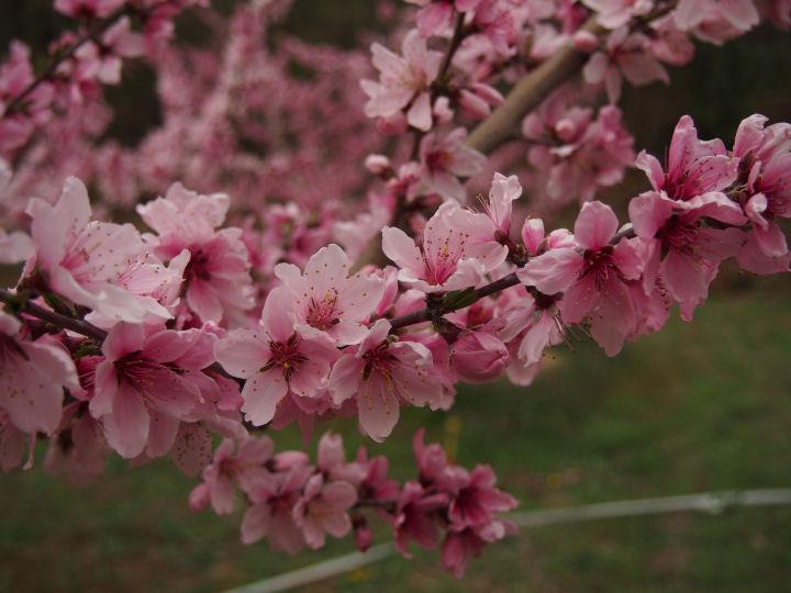 桃の花@新府-OMD52090