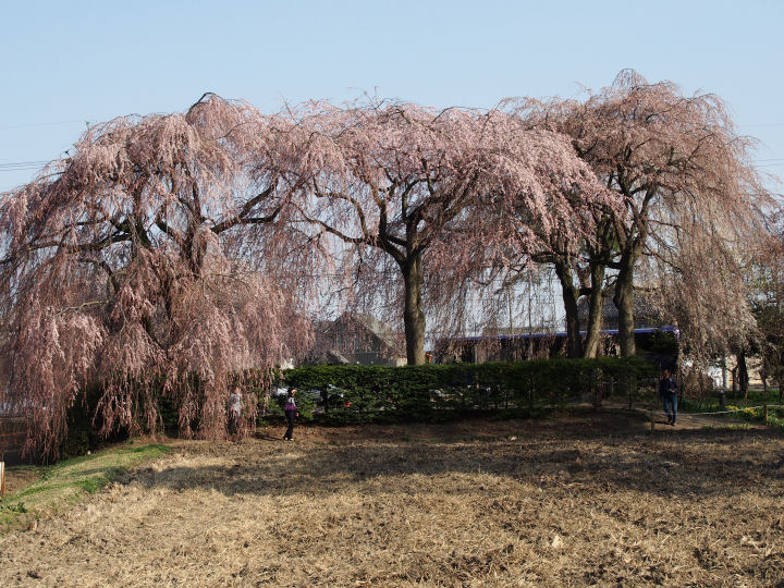 安養寺の枝垂れ桜-OMD52217