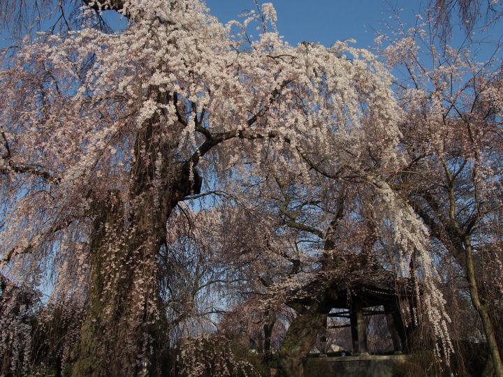 安養寺の枝垂れ桜-OMD52235