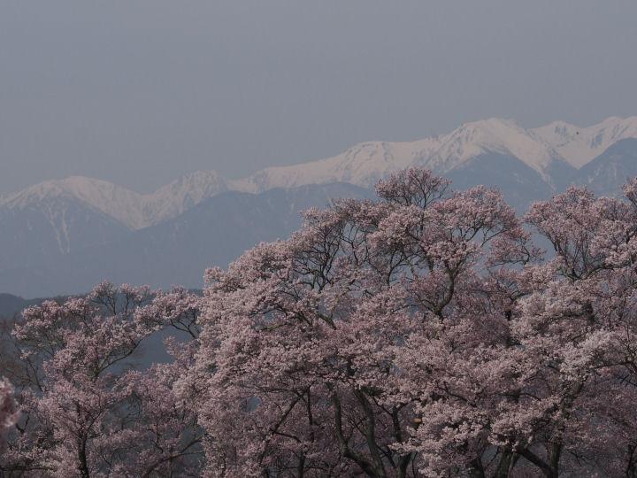高遠の桜-OMD52310