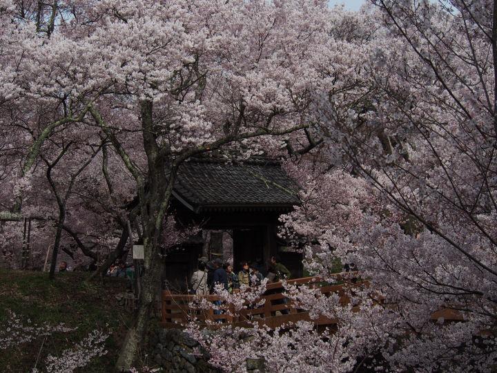 高遠の桜-OMD52313