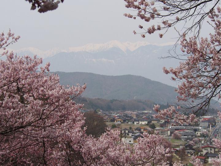 高遠の桜-OMD52329