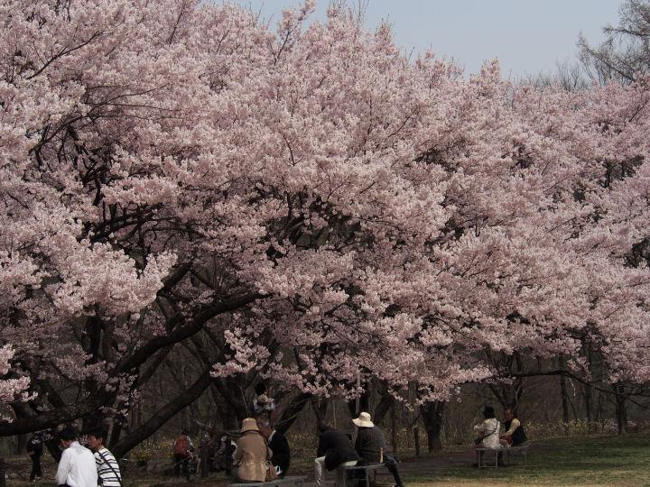 高遠の桜-OMD52332