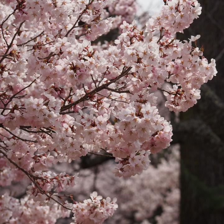高遠の桜-OMD52336