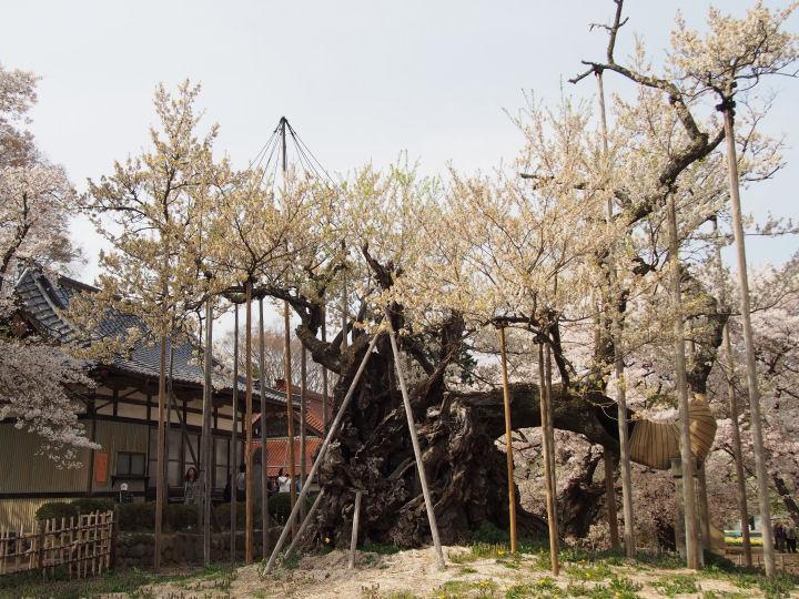実相寺の桜-OMD52352