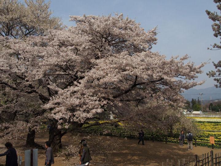 実相寺の桜-OMD52357
