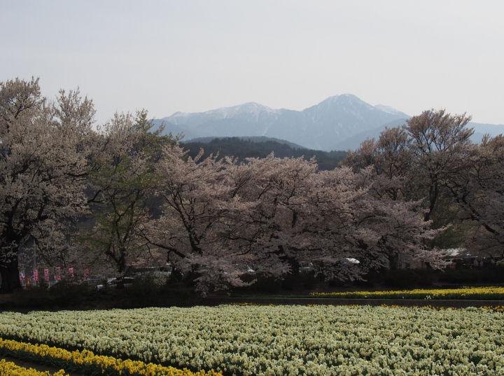 実相寺の桜-OMD52364