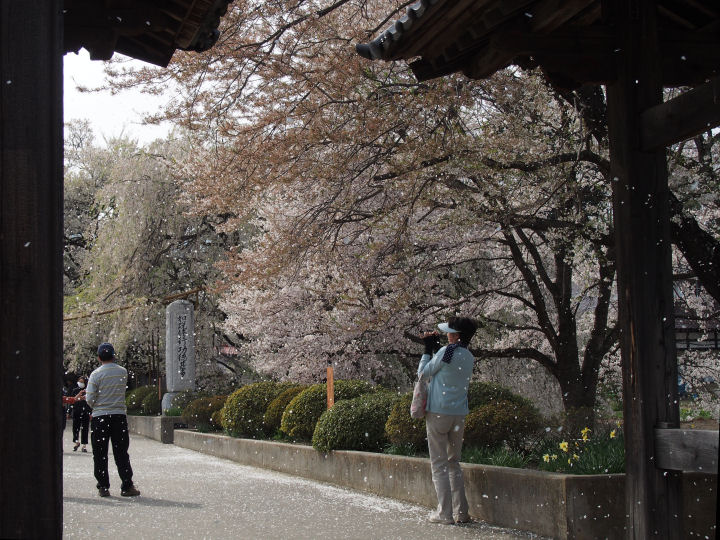 実相寺の桜-OMD52367