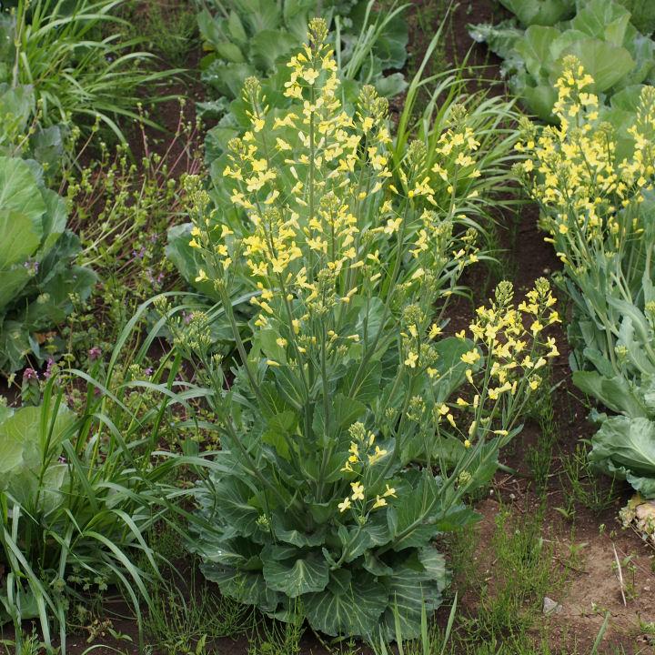 キャベツの花-OMD52728