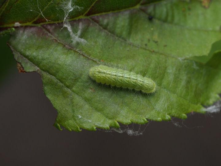 ミドリシジミ幼虫10mm-OMD52467