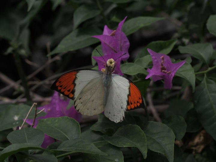 ツマベニチョウ♂-OMD52867