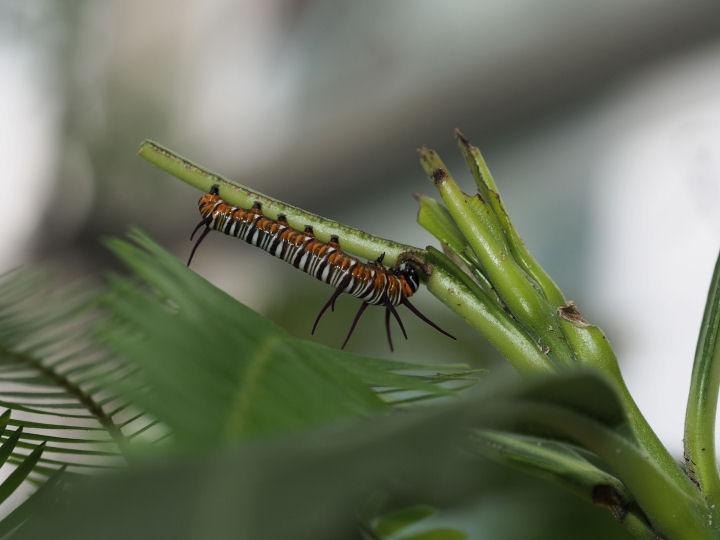 ツマムラサキマダラ幼虫25mm-OMD53003