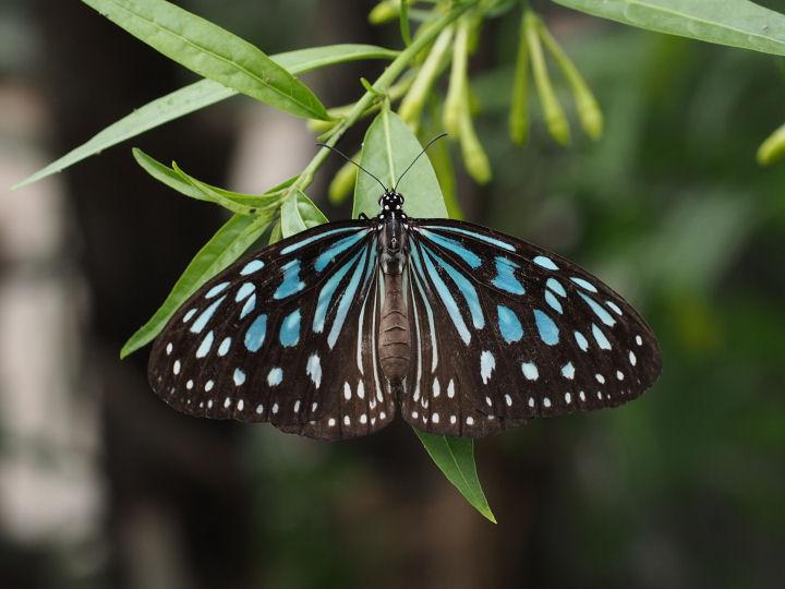 リュウキュウアサギマダラ♀-OMD52939