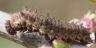 96-イチモンジチョウ幼虫8mm-OMD51284