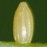 ツマキチョウ卵-OMD52440