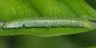96-ツマベニチョウ幼虫15mm
