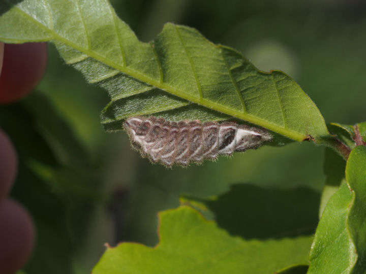 オオミドリシジミ幼虫18mm-OMD53570
